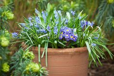 Blue spring container planting idea : 7 pots of Scilla siberica (3 bulbs each), 5 pots of Muscari armeniacum (5 bulbs each), and 3 polyanthus 'Zebra - Sarah Raven