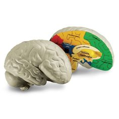 Brain Cross-Section Model