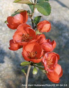 Plantera rosenkvitten! Busken får fantastisk vårblomning och nyttiga frukter som kan användas till underbart god juice, glass, marmelad och sirap.