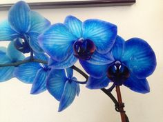 Mystique orchid. Color infused orchids