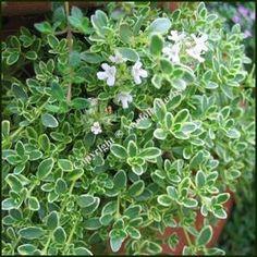 Highland Cream thyme - hardy perennial (ground cover)