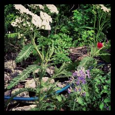 in my garden:  David Austen 'Tess of the d'urbervilles' and common yarrow, rue, walkers low catmint