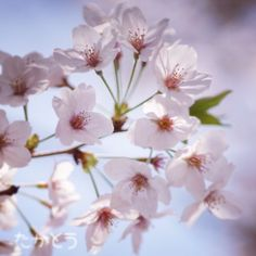 【mono96_boo】さんのInstagramをピンしています。 《I know it's not the season, but as my penpal told that she loves Sakura, I will post this. Sakura in Tokyo. ペンパルが桜大好き!との事でこれを投稿します🌸 季節じゃないけど、彼女の為に! . . #postcrossing #friend #japan #sakura #sakura🌸 #bloom #flower #flowerstagram #flowers #flowerlover #cherryblossom #pink #beautiful #桜》