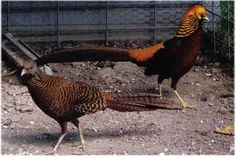 Dark Throated Golden Pheasant Pair
