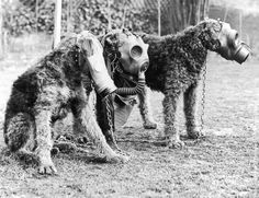 1939: Three Airedale dogs wearing their special gas masks at a Surrey kennel. They are being trained by Lt Col E. H. Richardson