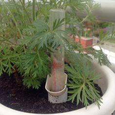 nyár növényvédelem Top5 öntözés Self Watering, Herbs, Plants, Herb, Plant, Planets, Medicinal Plants