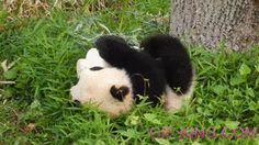 Here Is A Baby Panda Rolling Down A Hill