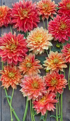 ~~Dahlia Punkin Spice   This informal decorative boasts 6-7 inch bright glowing orange blooms, some with raspberry undertones and others with hints of gold and red. Petals are lacinated at the tip, giving the flower an almost fuzzy quality. 'Punkin Spice' is versatile and looks incredible in mixed arrangements or displayed en masse. Plants reach 4.5 feet and their lush growth requires extra support. A beautiful wedding flower and a must grow!   Floret Flowers~~
