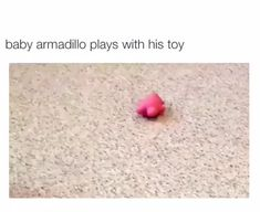 Cat Litter Box Ideas Hidden Discover Baby armadillo plays with his toy Baby armadillo plays with his tog Cute Little Animals, Cute Funny Animals, Funny Cute, Funny Animal Memes, Funny Animal Pictures, Tatou Animal, Cute Animal Videos, Armadillo, Cute Creatures