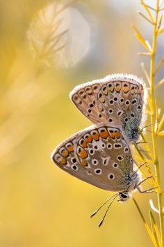 Two butterfly #fix - Two butterflies hanging from a branch of asparagus under the light of an autumn sunset