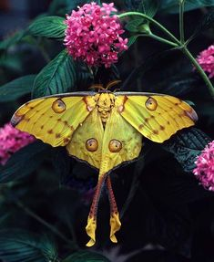 The Comet moth (Argema mittrei) or Madagascan moon moth is an African moth, native to the rain forests of Madagascar.  The male has a wing span of nearly 7 inches and a tail that is about 5 1/2 inches long ~ this makes it one of the largest silk moths in the world.