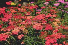 """Röllika Achillea """" Safran """" - řebříček Zahradnictví Krulichovi - zahradnictví, květinářství, trvalky, skalničky, bylinky a koření"""