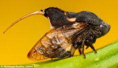 A Machaerotid Spittle bug