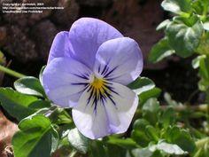 Viola 'Blueberry Cream'