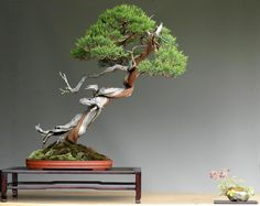 Bonsai juniper tree