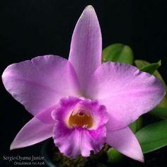 Laelia alaorii x Laelia sincorana #orquideasnoape #orquidea #orchid