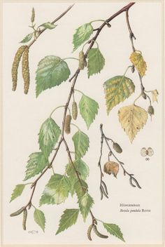 1960 Vintage Botanical Print Betula pendula Silver by Craftissimo