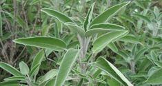 Garden sage - 25 seeds - Salvia officinalis - Organic, non-GMO Salvia Officinalis, Flu Remedies, Herbal Remedies, Terra Rica, Tea For Flu, Flu Tea, Sage Herb, Sacred Plant, Hardy Perennials