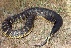 Top 50 Deadliest Snakes   Tiger Snake