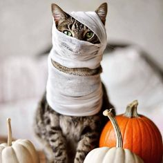 cat-halloween-diy-costume The 35 Greatest CAT Costumes EVER Kitten Costumes, Pet Costumes, Diy Halloween Costumes, Halloween Cat, Spirit Halloween, Happy Halloween, Halloween Queen, Halloween Photography, Cat Photography