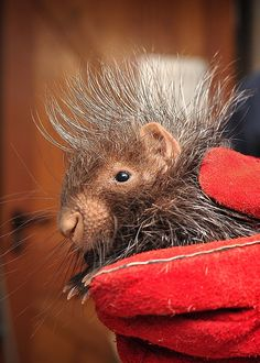 Porcupettes born in Chester, UK...adorable!