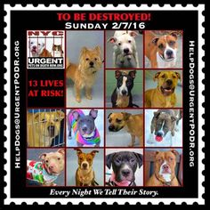 TO BE DESTROYED 02/07/16 - - Info  Please Share! -  Click for info & Current Status: http://nycdogs.urgentpodr.org/to-be-destroyed-4915/