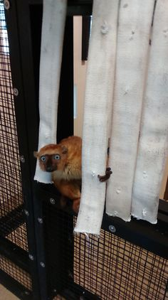 Fire hose vertically hung creates a privacy curtain for a lemur when they need some alone time.  The obstacle also encourages some playful behavior!