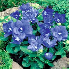 A very well-branched, long-lasting Balloon Flower with double blue blooms; ideal for baskets and containers.