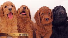 Our #labradoodle are #Labradorable. #cachorros #perros #dogs #puppies #breeder #CachorrosDOGKING