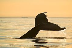 Photo of a large Humpback Whale tail - beyond the sea. Crab Trap, Save The Whales, Beyond The Sea, Wale, Newfoundland And Labrador, Oceans Of The World, All Gods Creatures, Sea Creatures, Whale Tail