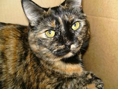 * * > Harmony insists that her human photograph her in a National Geo style and disapproves when human won't take to Harmony's idea. Crazy Cat Lady, Crazy Cats, I Love Cats, Cute Cats, Pretty Cats, Beautiful Cats, Baby Animals, Cute Animals, Calico Cats
