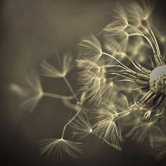 Sometimes, when you fall, you fly.  I know dandelions are considered a weed, but this photo is not ordinary, it's exquisite!