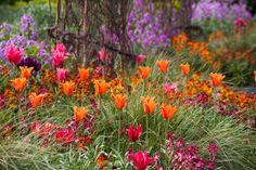 Tulip Ballerina, Tulipa Ballerina, Tulipa 'Doll's Minuet', Tulip 'Doll's Minuet', Viridiflora Tulip 'Doll's Minuet', Viridiflora Tulips, Spring Bulbs, Spring Flowers, Tulipe Hollywood Star,Tulipes Viridiflora, Red Tulips