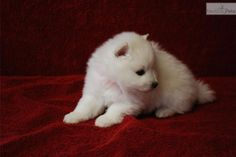 Meet Female a cute American Eskimo Dog puppy for sale for $1,500. Miss Pink (Toy)