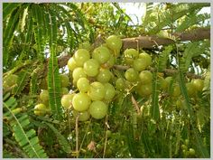 Amla is called Indian gooseberry in English. Many people eat it raw but still do not know much about its benefits. Let us know today Amla Benefits Amla Hair Oil, Amla Oil, Natural Essential Oils, Natural Oils, Exotic Fruit, Eating Raw, Tropical Garden, Fruit Trees, Gardens