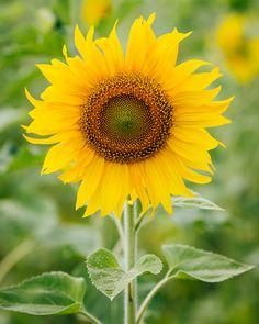 Meaning of Sunflowers by ProFlowers. Learn the meaning of the sunflower, as well as the Sunflower history and other facts.