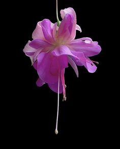 Purple Fuschia Photo by Photographer Jack Crockett Fuchsia Flower, My Flower, Purple Flowers, Types Of Flowers, All Flowers, Pretty Flowers, Hanging Flower Baskets, Garden Deco, Wonderful Flowers
