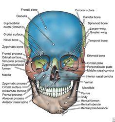 Facial Bone Anatomy #Dentaltown #DentalAnatomy