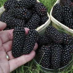 Marionberries: These are a cross between Chehalem and Ollallieberry. They are glossy and darker than blackberries and are used to prepare pies, ice creams, jellies, etc.