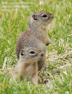 African ground squirrel images - Google Search