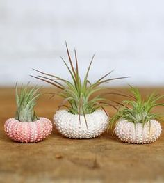 Pink Sea Urchin Planter & Air Plant Kit