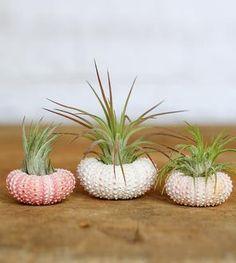 Pink Sea Urchin Planter & Air Plant Kit