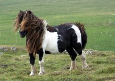 Chubby cute Shetland pony. Cavalos
