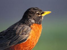 My favorite bird as a child. I could identify them and they were an obvious sign of Spring:) Love Birds, Beautiful Birds, First Robin, Johnny Jump Up, American Robin, World Birds, Bird Gif, Robin Bird, Spring Sign