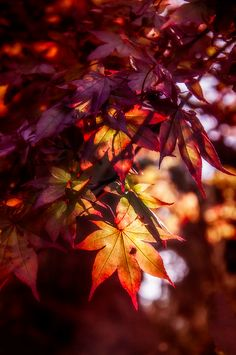 Japanese Maples in Fall
