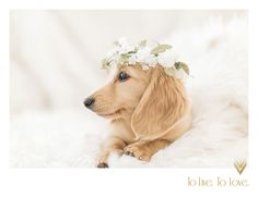 Long Haired Cream Dachshund with floral crown- To Live To Love Photography
