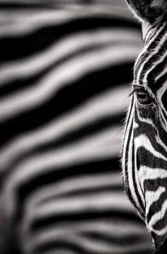 Black and White. Etosha, Namibia. Photographers, Ken & Michelle Dyball.