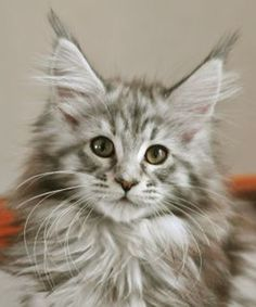 ♔ Silver Torbie Maine Coon cat