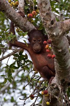 Baby Orangutan, Kinabatangan River - Malaysian Borneo - photo by Giovanni Mari