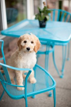 Goldendoodle and iron outdoor furniture painted turquoise!